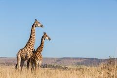两个一起长颈鹿野生生物动物 库存照片