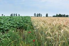 两个不同文化、麦子和向日葵,对的同样希望 图库摄影