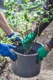 两个人在塑料桶投入了玫瑰丛 免版税库存图片