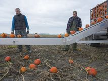 两个人在荷兰收获在领域的橙色南瓜在格罗宁根省  免版税库存照片
