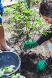 两个人开掘灌木成熟上升了 库存图片