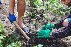 两个人开掘灌木成熟上升了 免版税库存照片