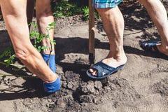 两个人开掘灌木成熟上升了 免版税图库摄影