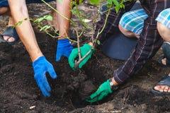 两个人是被移植的成熟灌木玫瑰 图库摄影