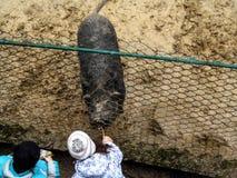 两个人的孩子由甜点喂养这一头野生猪在鸟舍-顶视图 库存照片