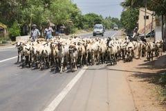 两个人驾驶山羊牧群在路的 免版税库存图片