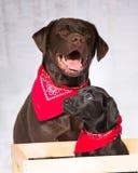 两个佩带红色方巾的实验室、巧克力和黑实验室 库存照片