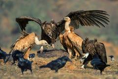 两个兀鹫欺骗fulvus和灰黑色雕Aegypius monachus 库存照片