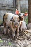 两个可爱的小猪 免版税图库摄影