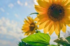 两个向日葵和两只土蜂 库存图片
