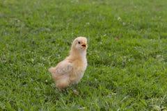两个告诉星期年纪的小鸡它的帮助的母亲 库存图片