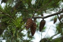 两个在一个云杉的分支的棕色锥体特写镜头 库存照片