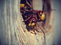 两个大黄蜂-大黄蜂 免版税图库摄影