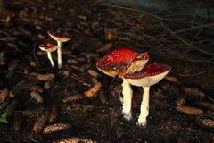 两个对在圣诞节颜色的蘑菇 库存图片