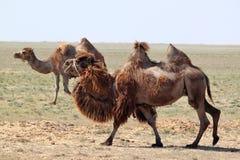 两个小丘骆驼在哈萨克斯坦沙漠  库存照片