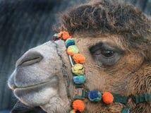 两个小丘骆驼顶头射击在当展示动物使用的英国 免版税库存照片