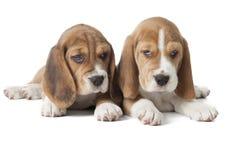 两个小猎犬小狗 免版税图库摄影