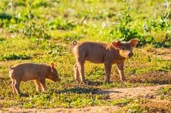 两个小猪繁忙哺养在Gaume草甸在南Belgiu的 库存图片