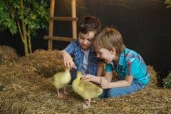 两个小男孩在农场设法哺养幼鹅 库存照片
