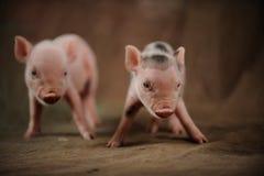 两个小的小猪来了拍照片 免版税库存照片