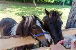 两个小的小马在农场 免版税库存照片