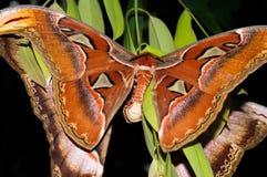 两个巨人地图集飞蛾饲养 免版税库存图片