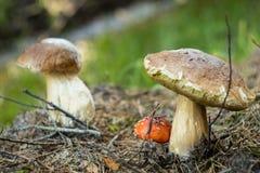 两个巨大的Porcini蘑菇和小Amonita Muscaria 免版税库存照片