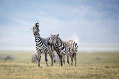 两个平原斑马战斗在Ngorongoro火山口的,坦桑尼亚 免版税库存图片