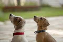 两个年轻人查寻杰克罗素的狗户外 库存图片