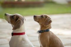 两个年轻人查寻杰克罗素的狗户外 库存照片