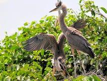 两个幼小伟大蓝色的苍鹭的巢和小的鸟 免版税库存照片