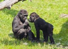 两个幼小大猩猩 免版税库存图片