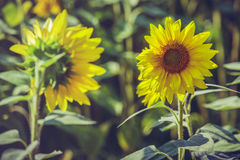 两个开花的向日葵 免版税库存图片