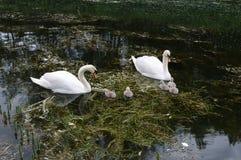 两个成人和五年轻signets天鹅家庭在河在春天 免版税库存图片