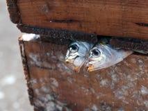 两个新近地沙丁鱼 库存图片