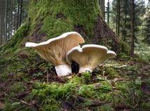 两个明亮的漏斗型蘑菇 免版税库存照片