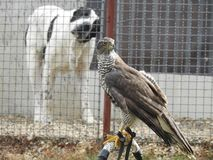 两个朋友一条大狗和一只美丽的鹰 库存图片