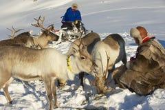 两个未认出的Saami人喂养在严冬情况,特罗姆瑟地区,北挪威的驯鹿 免版税图库摄影