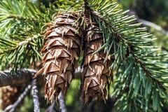 两个杉木锥体 免版税库存图片