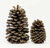 两个杉木锥体 库存照片