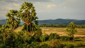 两个棕榈和领域 库存图片