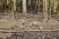 两个欧洲野公猪小猪,发出短促刺耳声物 免版税图库摄影