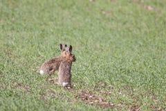 两个欧洲或布朗野兔(天兔座europaeus) 库存照片
