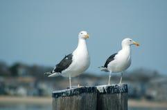两个海鸥哨兵 库存图片