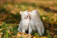 两个爱斯基摩小狗 免版税图库摄影