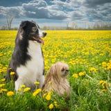 两个狗和蒲公英 免版税库存照片