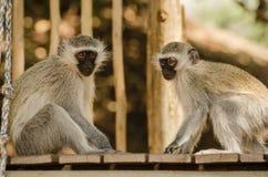 两个猴子朋友坐壁架 免版税库存图片
