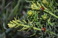 两个瓢虫在春天 免版税库存图片
