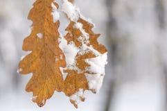 两个用雪和模糊的森林盖的森林棕色叶子 免版税库存照片