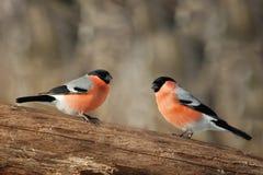 两个男性红腹灰雀 免版税库存图片